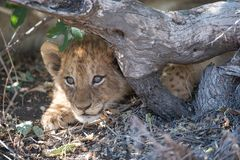 A cute lion cub concealed beneath an exposed root. A horizontal, close up, colour image of a young lion cub, Panthera leo, peeking out from beneath a tree stump Stock Image
