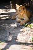 Cute lion cub. Lying in the sun stock image