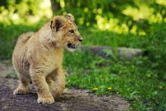 Cute lion cub. A walk in the Park stock photography