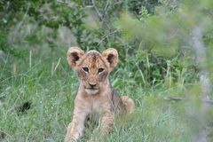 Cute Lion Cub royalty free stock photos