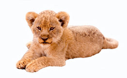 Cute Lion Cub. Isolated in white Stock Images