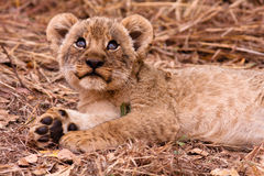 Cute lion cub looking up. Wild lion cub looking up into the sky Stock Photos