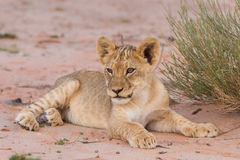 Cute lion cub lying on the kalahari sand Royalty Free Stock Images