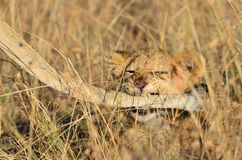 Cute lion cub playing with mom in Masai Mara Stock Photos