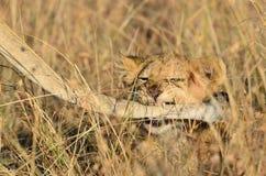Cute lion cub playing with mom in Masai Mara. Cute lion cub at sunrise playfully biting his mom's tail in the Masai Mara stock photos