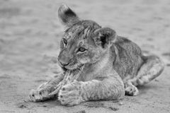 Cute lion cub playing on sand in the Kalahari artistic conversio Royalty Free Stock Image