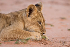 Cute lion cub playing on sand in the Kalahari Royalty Free Stock Photo