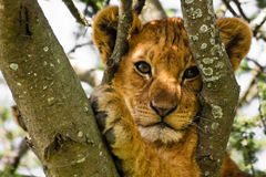 Cute Lion Cub Portrait. Cute lion cub up a tree in Serengeti National Park, Tanzania royalty free stock photo