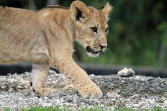 Cute lion cub in profile Stock Images