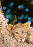 Cute Lion Cub. Resting in the shade of a large tree Royalty Free Stock Image