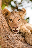 Cute lion cub Royalty Free Stock Photos