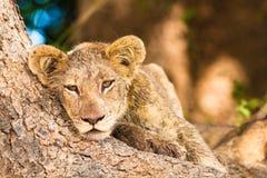 Cute lion cub Stock Image