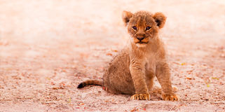 Cute Lion Cub. Sitting in the sand stock image