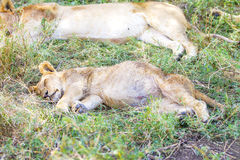 Cute lion cub sleeps on the back after meal Royalty Free Stock Photography