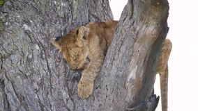 Closeup Of A Cute Little Lion Cub Sleeping On A Tree Branch In The Wildlife. The cute lion cub sleeps sweetly on a tree branch. Breathing heavily from the heat stock video footage