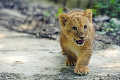 Cute lion cub. A walk in the Park royalty free stock photo