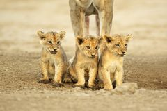 Cute lion cubs Royalty Free Stock Images