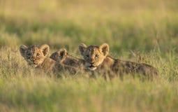 Cute Lion cubs at Amboseli National Park,Kenya. Africa royalty free stock photos