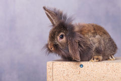 Cute lion head rabbit bunny holding one ear up. Royalty Free Stock Photo