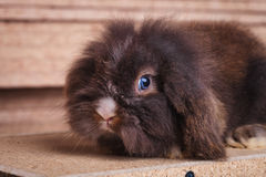 Cute lion head rabbit bunny lying in wood background Stock Photography