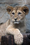 Cute lionet Royalty Free Stock Image