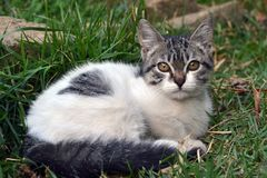 Cute litle kitten lying on the grass looking. Grey and white cute litle kitten lying on the grass looking to you stock image