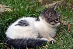 Cute litle kitten lying on the grass looking. Foward royalty free stock image