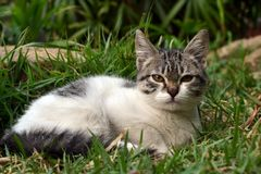 Cute litle kitten lying on the grass looking. White and grey cute litle kitten lying on the grass looking to you stock images