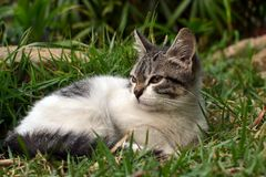 Cute litle kitten lying on the grass looking. Grey and white cute litle kitten lying on the grass looking stock image
