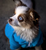 Dog with blue eyes Royalty Free Stock Photo