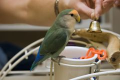 Pet Lovebird on Playgym Stock Photos