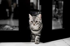 Cat portrait  Cute little American Shorthair cat. Royalty Free Stock Photography