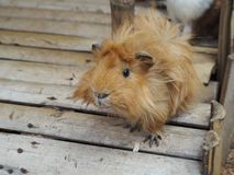 57/5000 Small guinea pig on a teaching farm in Bali, Indonesia royalty free stock image