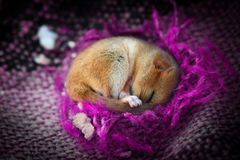 Cute little animal sleeping in violet blanket. Cuddly cute little baby animal sleeping in violet blanket dormouse Stock Photo
