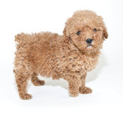 Apricot Poodle Puppy. Cute little apricot poodle puppy on a white background royalty free stock photo