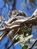 Cute little Australian Koala Bear sleeping between branches of an eucalyptus tree . Kangaroo island royalty free stock image