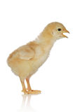 Cute little baby chicken Royalty Free Stock Images