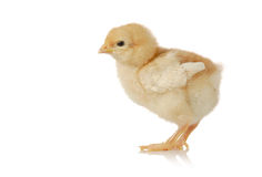 Cute little baby chicken Stock Images