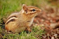 Cute little baby chipmunk Royalty Free Stock Images