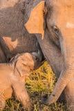 Little baby elephant sucking milk. Cute little baby elephant sucking milk from mother , srilanka royalty free stock images