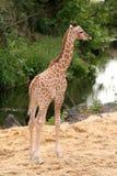 Cute little baby giraffe Stock Images