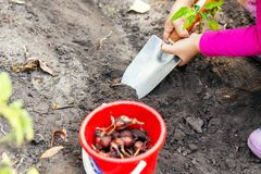 Cute little baby girl planting onion bulb seedlings. Little child gardener concept. Spring outdoor children activities.  royalty free stock photography