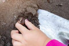 Cute little baby girl planting onion bulb seedlings. Little child gardener concept. Spring outdoor children activities.  royalty free stock image