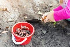 Cute little baby girl planting tulip bulb seedlings. Little child gardener concept. Spring outdoor children activities stock photos