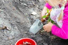 Cute little baby girl planting tulip bulb seedlings. Little child gardener concept. Spring outdoor children activities. Kid gardening soil nature hand green stock image