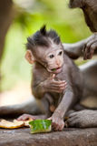 Cute little baby monkey. Adorable little baby monkey eating a piece of cucumber in Sacred Monkey Forest, Ubud, Bali Stock Photos