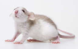 Cute little baby mouse stock photo
