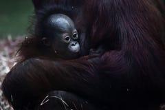 Cute Little Baby Orangutan On The Big Hands Stock Images