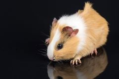 Cute little baby pet white brown guinea pig  on the black background with reflections Royalty Free Stock Photography