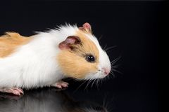 Cute little baby pet white brown guinea pig  on the black background with reflections Stock Image